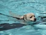 canstockphoto14353911dogswimming